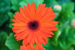 Πορτοκαλιά κινηματογράφηση σε πρώτο πλάνο gerbera λουλουδιών στο δέντρο στον κήπο Στοκ Φωτογραφίες