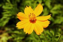 Πορτοκαλιά κόσμου θαμπάδα φυσικού υποβάθρου λουλουδιών όμορφη Στοκ Εικόνες