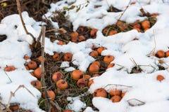 Πορτοκαλιά μήλα που βρίσκονται στο χιόνι Στοκ εικόνα με δικαίωμα ελεύθερης χρήσης
