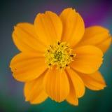 Πορτοκαλιά μακροεντολή λουλουδιών στοκ φωτογραφία με δικαίωμα ελεύθερης χρήσης