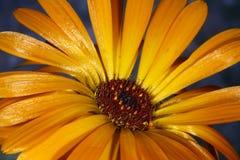 Πορτοκαλιά μαργαρίτα Στοκ εικόνα με δικαίωμα ελεύθερης χρήσης