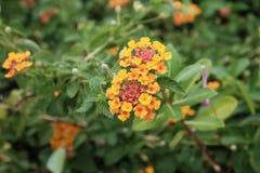 πορτοκαλιά μικρά λουλούδια στοκ φωτογραφία