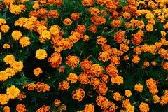 Πορτοκαλιά λουλούδια κήπων Στοκ Φωτογραφίες