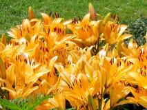 Πορτοκαλιά λουλούδια 2014 κρίνων κήπων του Τορόντου Στοκ Εικόνες