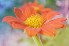 Πορτοκαλιά λουλούδια κρητιδογραφιών Στοκ Φωτογραφίες
