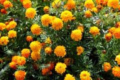 Πορτοκαλιά λουλούδια φθινοπώρου Στοκ Εικόνες