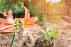 Πορτοκαλιά λουλούδια Hippeastrum ή Amaryllis στο backgro κήπων φύσης Στοκ εικόνες με δικαίωμα ελεύθερης χρήσης