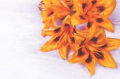Πορτοκαλιά λουλούδια Lilia στοκ φωτογραφίες με δικαίωμα ελεύθερης χρήσης