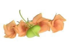 Πορτοκαλιά λουλούδια oleander και ο σπόρος του Στοκ Εικόνες