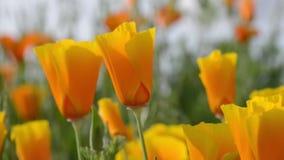 Πορτοκαλιά παπαρούνα Καλιφόρνιας απόθεμα βίντεο