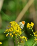 Πορτοκαλιά πεταλούδα ακρών Στοκ Φωτογραφίες
