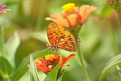 Πορτοκαλιά πεταλούδα σε ένα λουλούδι Στοκ Φωτογραφίες