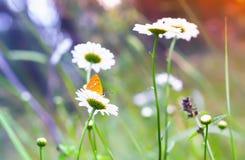 Πορτοκαλιά πεταλούδα σε μια μαργαρίτα Στοκ εικόνες με δικαίωμα ελεύθερης χρήσης