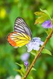 Πορτοκαλιά πεταλούδα στο λουλούδι Στοκ Εικόνες