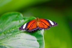 Πορτοκαλιά πεταλούδα στο πράσινο φύλλο Στοκ φωτογραφία με δικαίωμα ελεύθερης χρήσης