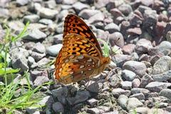 Πορτοκαλιά πεταλούδα Στοκ φωτογραφία με δικαίωμα ελεύθερης χρήσης