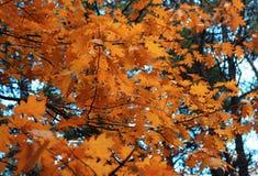 Πορτοκαλιά δρύινα φύλλα Στοκ Εικόνες