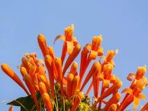 Πορτοκαλιά σάλπιγγα στο υπόβαθρο μπλε ουρανού, Pyrostegia Venusta στοκ εικόνα