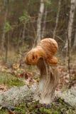 Πορτοκαλιά σημύδα Bolete (Leccinum versipelle) Στοκ Εικόνες