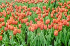 Πορτοκαλιά τουλίπα στον κήπο Στοκ Εικόνες