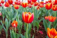 πορτοκαλιά τουλίπα Στοκ εικόνα με δικαίωμα ελεύθερης χρήσης
