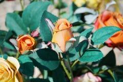Πορτοκαλιά τριαντάφυλλα και μπλε φύλλα Στοκ Εικόνες