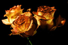 Πορτοκαλιά τριαντάφυλλα στο μαύρο υπόβαθρο Στοκ εικόνα με δικαίωμα ελεύθερης χρήσης