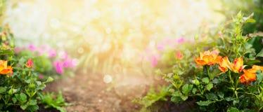 Πορτοκαλιά τριαντάφυλλα στο υπόβαθρο κήπων λουλουδιών, έμβλημα Στοκ εικόνα με δικαίωμα ελεύθερης χρήσης