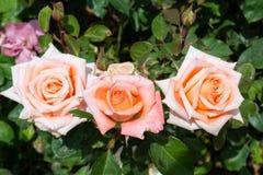 Πορτοκαλιά τριαντάφυλλα - σύνολο Στοκ φωτογραφία με δικαίωμα ελεύθερης χρήσης