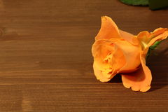 πορτοκαλιά τριαντάφυλλ&alph Στοκ Φωτογραφία