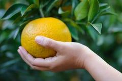 Πορτοκαλιά φρούτα επιλογής από το δικαίωμα Στοκ Εικόνες
