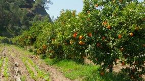 πορτοκαλιά φρούτα στον κλάδο του δέντρου, εποχή άνοιξης, ηλιόλουστη ημέρα