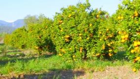 πορτοκαλιά φρούτα στον κλάδο του δέντρου, εποχή άνοιξης, ηλιόλουστη ημέρα απόθεμα βίντεο
