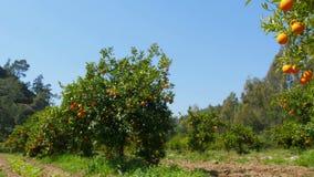 πορτοκαλιά φρούτα στον κλάδο του δέντρου, εποχή άνοιξης, ηλιόλουστη ημέρα φιλμ μικρού μήκους