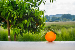 Πορτοκαλιά φρούτα στο υπόβαθρο του πορτοκαλιού δέντρου Στοκ εικόνες με δικαίωμα ελεύθερης χρήσης