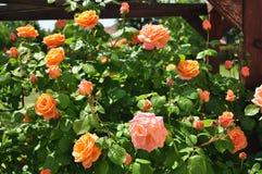 Πορτοκαλιά φυτεία με τριανταφυλλιές Στοκ Φωτογραφίες