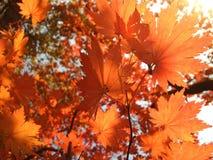 Πορτοκαλιά φύλλα σφενδάμου Στοκ Εικόνα