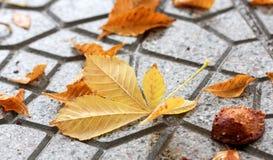 Πορτοκαλιά φύλλα φθινοπώρου μαύρη καφετιά έννοια χρώματος ανασκόπησης λίγη πράσινη εποχή σφενδάμνου φύλλων Στοκ Φωτογραφία