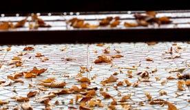 Πορτοκαλιά φύλλα φθινοπώρου μαύρη καφετιά έννοια χρώματος ανασκόπησης λίγη πράσινη εποχή σφενδάμνου φύλλων Στοκ φωτογραφία με δικαίωμα ελεύθερης χρήσης