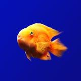 Πορτοκαλιά ψάρια υποβρύχια στο μπλε υπόβαθρο στοκ εικόνες