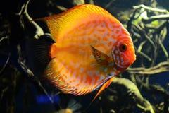 Πορτοκαλιά ψάρια Στοκ Φωτογραφία