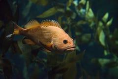 Πορτοκαλιά ψάρια στοκ φωτογραφίες