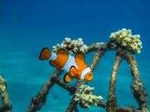 πορτοκαλιά ψάρια anemone στη θάλασσα Στοκ φωτογραφία με δικαίωμα ελεύθερης χρήσης