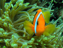 Πορτοκαλιά ψάρια Anemone Στοκ Φωτογραφίες