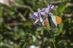Πορτοκαλιά cardamines Anthochraris άκρη-πεταλούδων Στοκ φωτογραφία με δικαίωμα ελεύθερης χρήσης
