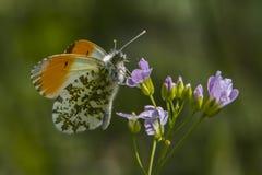 Πορτοκαλιά cardamines Anthochraris άκρη-πεταλούδων Στοκ Φωτογραφία