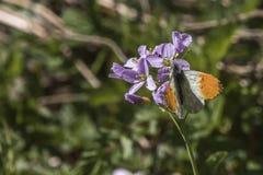 Πορτοκαλιά cardamines Anthochraris άκρη-πεταλούδων Στοκ εικόνα με δικαίωμα ελεύθερης χρήσης
