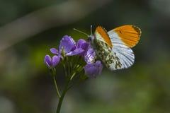 Πορτοκαλιά cardamines Anthochraris άκρη-πεταλούδων Στοκ Εικόνες