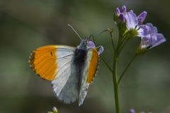 Πορτοκαλιά cardamines Anthochraris άκρη-πεταλούδων Στοκ Εικόνα