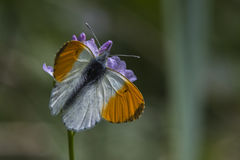 Πορτοκαλιά cardamines Anthochraris άκρη-πεταλούδων Στοκ φωτογραφίες με δικαίωμα ελεύθερης χρήσης